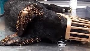 Nie uwierzycie w to, co spotkało tego psa! Zobaczcie, dlaczego jego skóra jest t