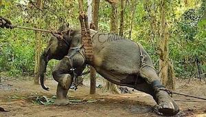 Związali słonia linami by złamać jego wolę. Powód? Przerażający!!