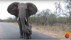 Mama tego słoniątka postanowiła dać mu lekcję życia. Zobaczcie, co zrobiła!