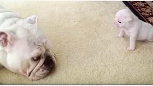 Buldożka zbliżyła się do swojego szczeniaczka. To, co zrobił mały Elvis, zaskocz