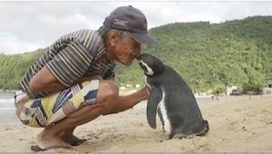 Ten pingwin co roku wraca w to samo miejsce, by zobaczyć się z człowiekiem, któr