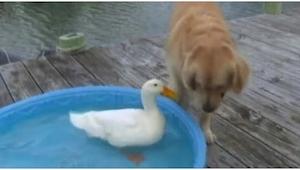 Pies zobaczył kaczkę i zrobił coś, o co nigdy byśmy go nie podejrzewali!