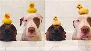 Zobaczcie reakcję psów, gdy ich właściciele sprowadzili do domu żywe kaczuszki!