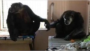 Historia tej pary szympansów brzmi jak najgorszy koszmar. Teraz za to pierwszy r