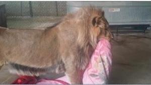 Z kocem, który niesie lew, wiąże się smutna historia. Biedne zwierzę...