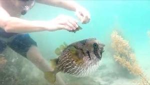 Zbliżył się do trującej ryby, żeby ją uwolnić z sieci. Nie spodziewał się TEGO!