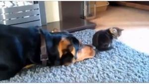 Ten pies tak bardzo chciał zaprzyjaźnić się z kotem, że... spadniesz z krzesła z