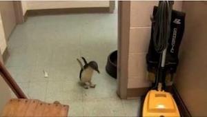 Mały pingwin zgubił się, ale patrz uważnie, co się stanie, gdy spotka swoją opie