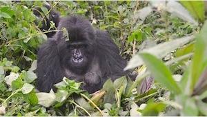 Gdy goryl odwrócił się w ich stronę, nie mogli uwierzyć w to, co trzymał w ramio