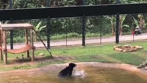 Niedźwiedź przez wiele lat żył w ciasnej klatce, zobacz co zrobił gdy wypuszczon