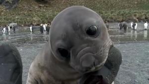 Młoda foka podeszła do kamerzysty. To co nagrał jest wyjątkowe!