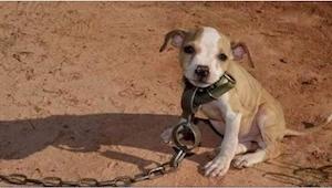 Od kiedy się narodził, ten pitbull znał tylko okrucieństwo. Kiedy go uwolnili by