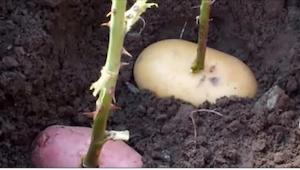 Wsadziła łodygę róży w ziemniaka i go zakopała. To, co wyrosło po tygodniu, jest