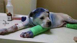 Dwa psy były maltretowane przez właścicieli. To co stało się gdy po raz pierwszy