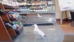 Mewa weszła do sklepu jednak nikt nie spodziewał się tego co zaraz zrobi!