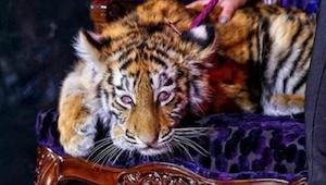 5-miesięczny tygrys jest pod wpływem narkotyków. To, dlaczego mu to robią, łamie