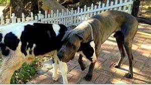 Uratowany z farmy cielaczek zaprzyjaźnił się z psem i... trochę mu się wszystko