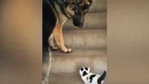 Mały kotek próbuje wejść po schodach, wtedy owczarek niemiecki robi coś bardzo u