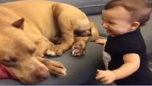 Dziecko koniecznie chciało obudzić pit bulla. Zobaczcie, co zrobił pies od razu