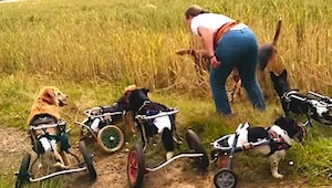 Te odratowane pieski  poruszają się na wózkach inwalidzkich. Zobaczcie jak pięk