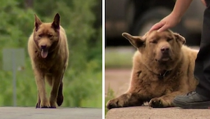 Pies codziennie idzie ponad 6 kilometrów. Powód zadziwia!