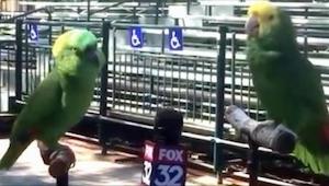 Reporter miał przeprowadzić wywiad... z papugami. Chyba nie był przygotowany na