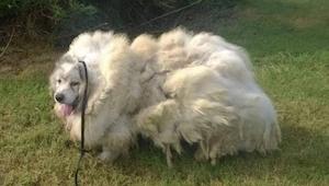 Za drzwiami stodoły znaleźli przerażonego psa, gdy zgolili z niego 15 kg sierści