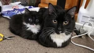 Wygląda jak mama! 14 kociąt, które są miniaturową wersją swoich rodziców. 7 zdję