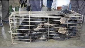 Niedźwiedź latami był uwięziony w ciasnej, metalowej klatce. Gdy wolontariusze w