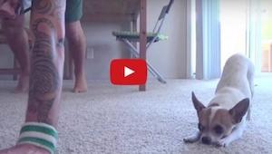 Codziennie, gdy zaczyna trening, u jego boku pojawia się maleńki chihuahua... Zo