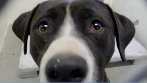 To, jak ten psiak zareagował, gdy zrozumiał, że go adoptowano, jest piękne!