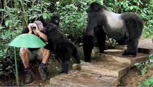 Gdy rodzina goryli zbliżyła się do niego, zamarł. Zobaczcie, co zrobiły zwierzęt