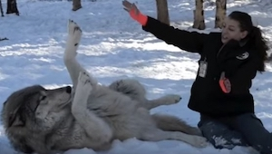 Kobieta kuca obok dorosłego wilka, chwilę później zobaczyłam coś magicznego!