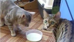 Do czego zdolny jest kot, żeby zdobyć mleko? Przekonajcie się sami!