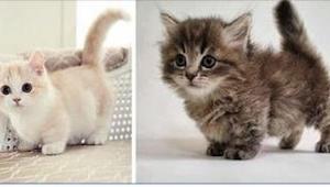 To najmniejsze koty świata! Choć trudno w to uwierzyć, patrzycie na dorosłe koty