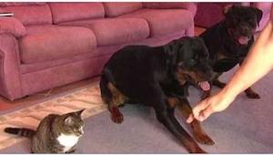 Dwa psy siedzą obok siebie, ale skoncentrujcie się na kocie. To, co zaraz zrobi,