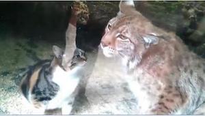 Bezpański kot wchodzi do klatki rysia. To, co się stało, wzbudziło konsternację.