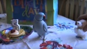 Rozmowna papuga obchodzi swoje 5. urodziny. Zobaczcie, jak zareaguje na urodzino
