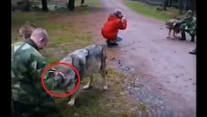 Nagranie dla ludzi o mocnych nerwach. Gdy zaatakował go wilk, TA osoba nie wahał
