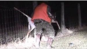 Myśliwy podchodzi do jelenia, który zaplątał się w ogrodzeniu, to co zrobił zszo