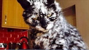 Czarny kot nagle zaczął dostawać białych plamek. Niedługo później jego właścicie