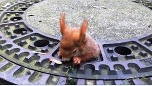 Wiewiórka utknęła we włazie. To co zrobił ten przechodzień jest niesamowite!