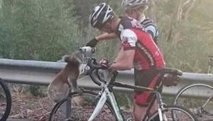Spragniony koala ryzykuje życiem, żeby się napić - zobacz co robią przejeżdżając