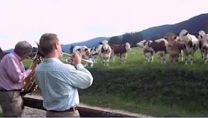 Kiedy ci muzycy zaczęli grać dla krów myślałam, że zwariowali, ale zobaczcie to