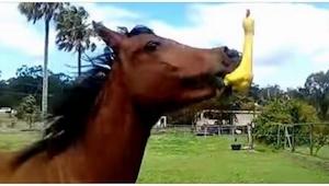 Koń dostał w prezencie gumową kaczkę - jego reakcja w 0:17 jest tak śmieszna, że