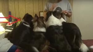 To, co robi pierwszy pies od lewej, to szczyt bezczelności, ale i wielkiego spry