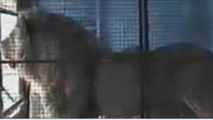 Reakcja tego lwa na odzyskanie wolności po 13 latach nie może z niczym się równa