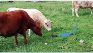 Krowy zbliżyły się do tajemniczego obiektu, a gdy ten się poruszył... Musicie zo