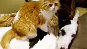 Kot usiadł na dogu niemieckim - powód chwyta za serce!