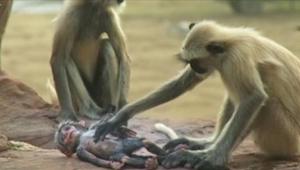 Tym małpkom podrzucono dziecko-robota. Kiedy wydarzyła się tragedia nikt nie spo